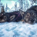 photo gallery, dog sledding , sled dog, dog sled, husky trip, winter activity