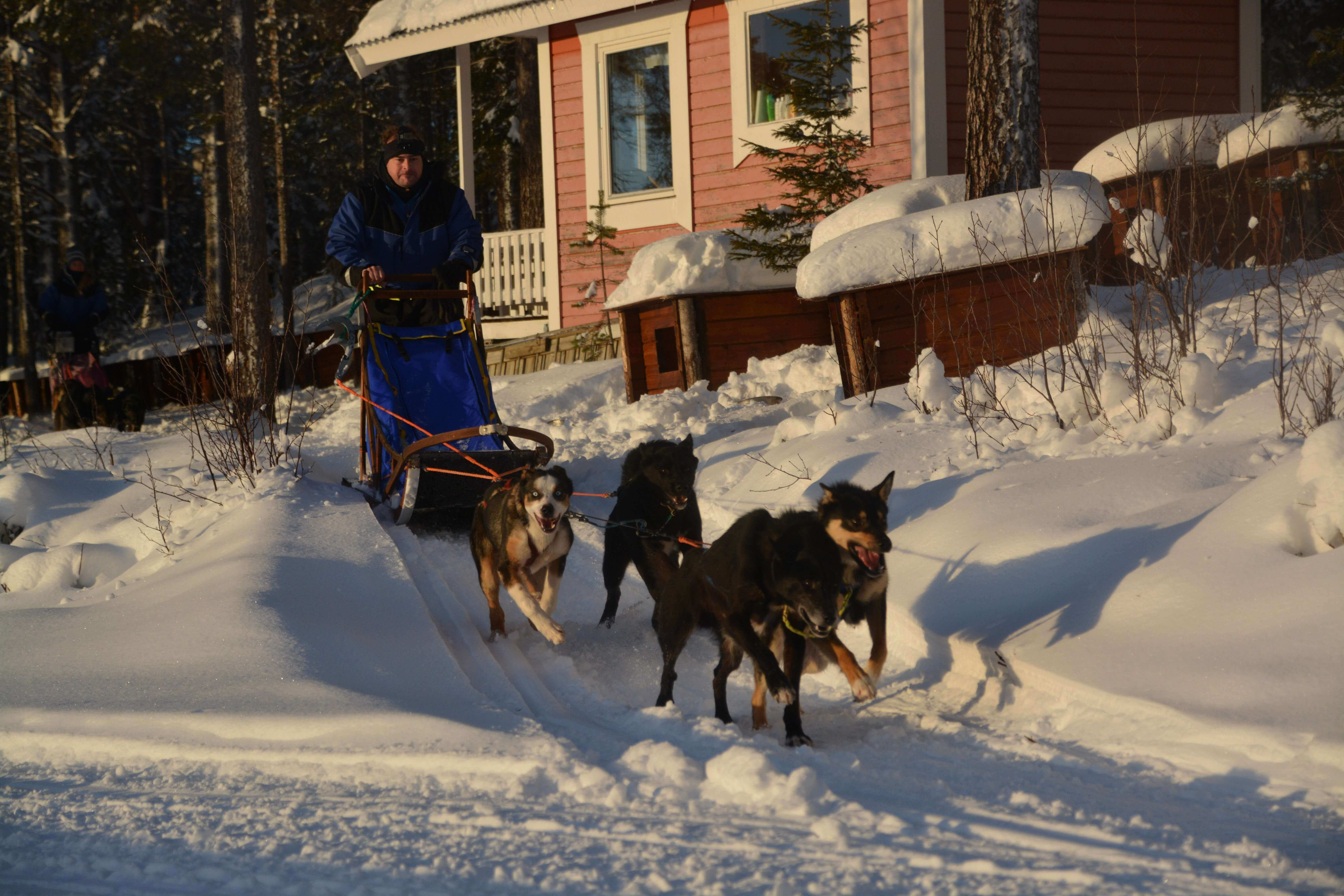 Sled dog ride with husky tours