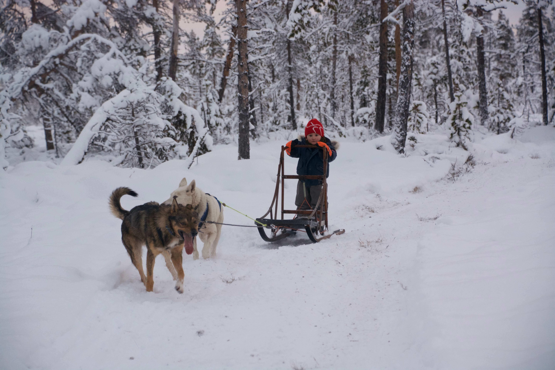 jack sledding huskies